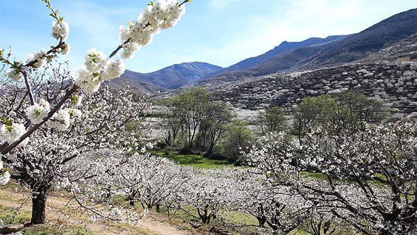 Recorriendo el Valle del Jerte en flor